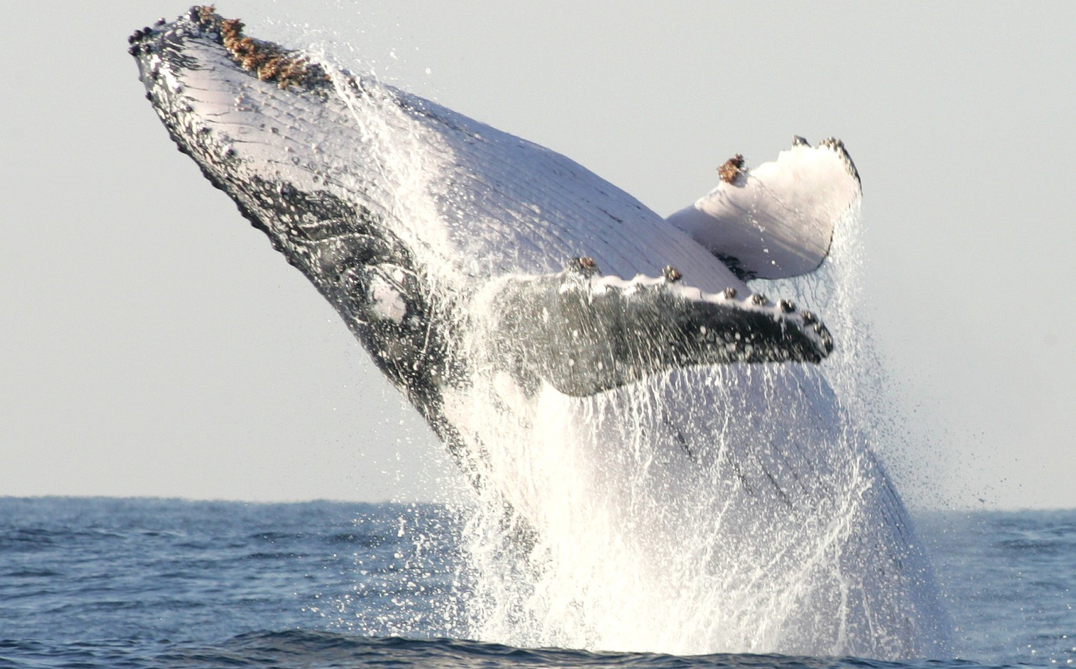 A humpback whale breaches off South Africa's Kwa-Zulu Natal South Coast, in this file photo taken July 9, 2004.  A study unveiled on Monday showed that the extinction or precipitous population declines of large land and sea mammals has deprived ecosystems of a vital source of fertilization in their dung, urine and, after death, decomposing bodies.  REUTERS/Mike Hutchings/Files