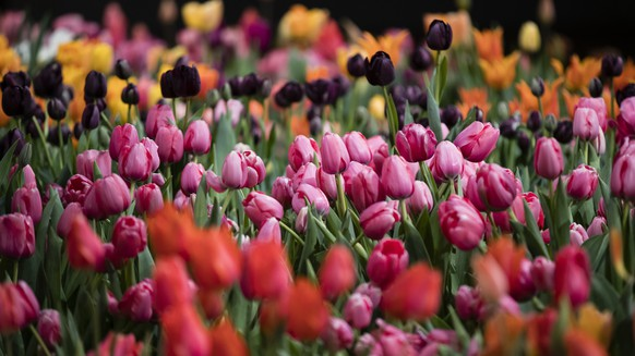 Tulips are displayed during a preview of the Philadelphia Flower Show Friday, March 10, 2017 at the Pennsylvania Convention Center in Philadelphia. The theme of this year's floral festival is