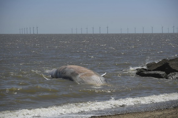 A view of a 40 foot-long whale that has washed up on the beach at Clacton-on-Sea in Essex, England, Friday, May 29, 2020. The giant marine mammal, which has died, swept to shore on Friday. (Joe Giddens/PA via AP)
