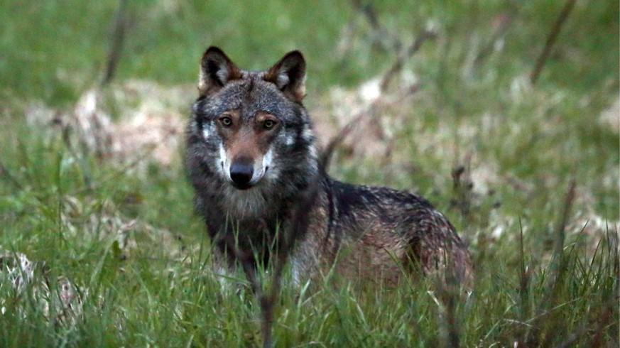 Urner-wollen-Wolf-B-r-und-Luchs-an-den-Pelz