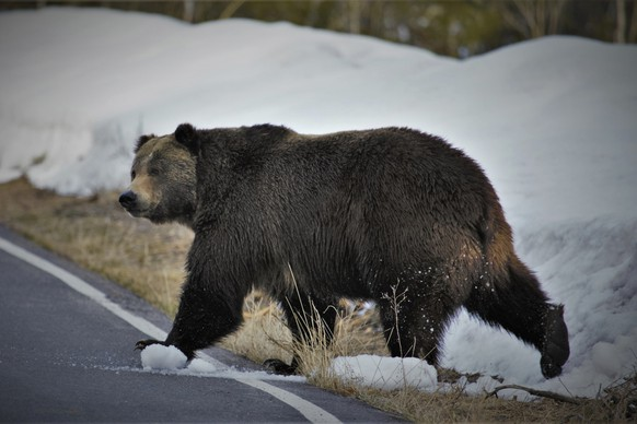 In this undated photo provided by the U.S. Fish and Wildlife Service is a grizzly bear just north of the National Elk Refuge in Grand Teton National Park, Wyo. Grizzly bears are slowly expanding the turf they roam in the northern Rocky Mountains but scientists say they need continued protections, They have also concluded that no other areas of the country would be suitable for the fearsome animals. The Fish and Wildlife Service on Wednesday, March 31, 2021, released its first assessment in nearly a decade on the status of grizzly bears in the contiguous U.S. (Joe Lieb/USFWS via AP)