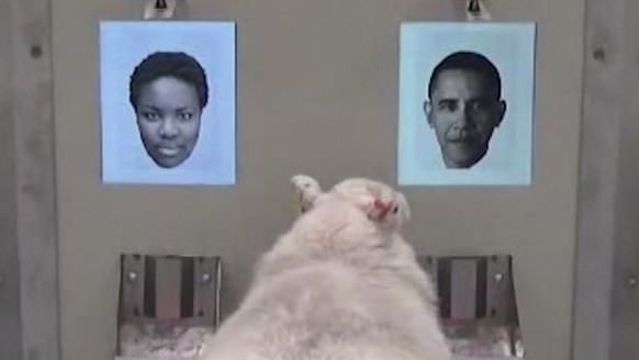In this image taken from video, a sheep indicates recognition of former US president Barack Obama, right, displayed on a computer screen during research carried out by scientists at Cambridge University with their results published Wednesday Nov. 8, 2017, in Royal Society: Open Science.  The new study shows that sheep have advanced face-recognition abilities comparable to those of humans and monkeys, according to Professor Jenny Morton, and the university hope their research assists research into Huntington's disease and other human brain disorders that affect mental processing.(Cambridge University via AP)