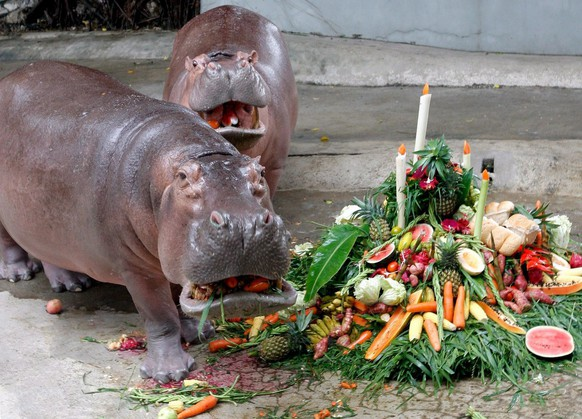 epa01509300 L-R Mali (meaning Jasmine in English) the hippopotamus and her grandaughter enjoy Mali's  birthday cake made of vegetables and fruit at a party to celebrate her 42nd birthday at Dusit Zoo in Bangkok, Thailand, 04 October 2008. Mali came to Thailand from the Tilburg zoo in The Netherlands in 1970, and has since given birth to 14 young hippos. She is one of the most loved animals at the Bangkok city zoo, which is situated opposite the nation's  Parliament House.  EPA/BARBARA WALTON