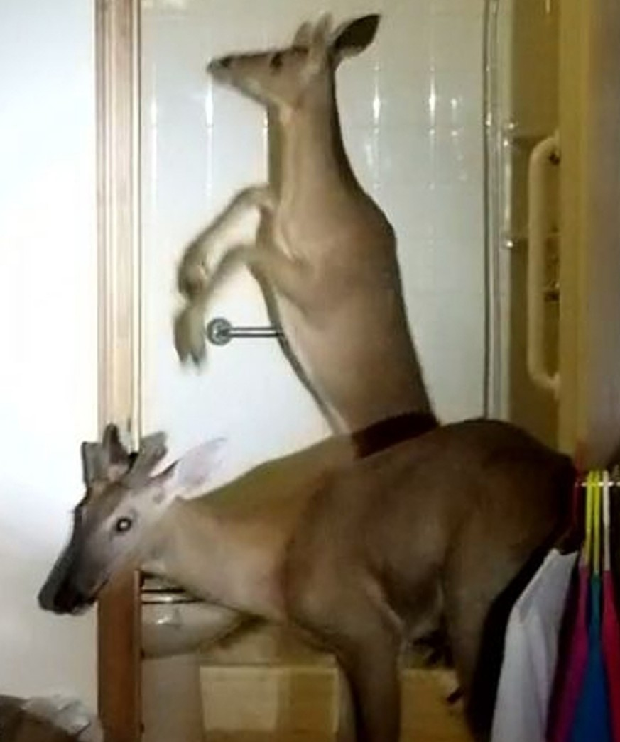 In this June 4, 2019 photo provided by the Decatur Police Department in Decatur, Ind., shows two deer in the bathroom of an apartment in Decatur, Ind. Police said three of the animals crashed through a window, trapping a woman inside her apartment with the skittish animals. Police removed the deer and the woman wasn't injured. (Sgt. Kevin Gerber/Decatur Police Department via AP)