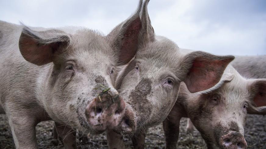 sch-rfere-tierschutznormen-schweizer-schweinehalter-werfen-das-handtuch
