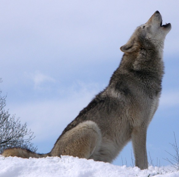 Wolfhttps://commons.wikimedia.org/wiki/File:Howlsnow.jpg