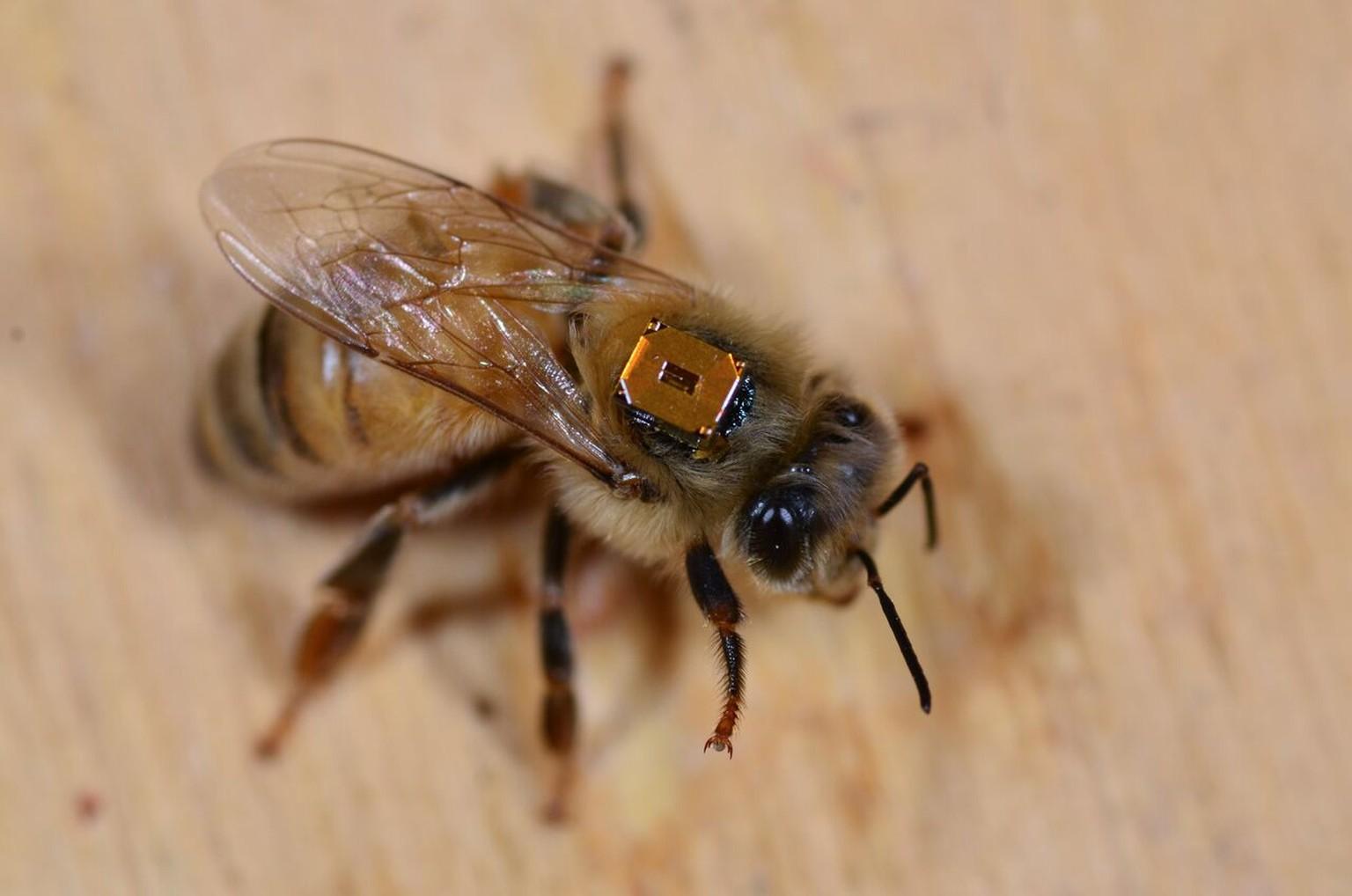 Mikrochip auf Bienen-Rücken soll Bedrohung durch Pestizide ...