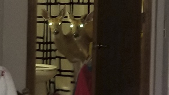 In this June 4, 2019 photo provided by the Decatur Police Department in Decatur, Ind., shows two deer peering from the bathroom of an apartment in Decatur, Ind. Police said three of the animals crashed through a window, trapping a woman inside her apartment with the skittish animals. Police removed the deer and the woman wasn't injured. (Sgt. Kevin Gerber/Decatur Police Department via AP)