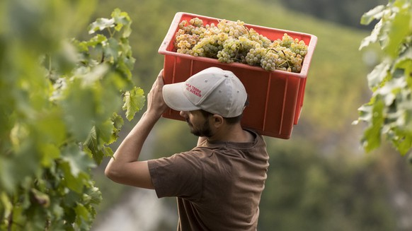 ARCHIV --- ZUR REKORD-WEINLESE 2018 STELLEN WIR IHNEN FOLGENDES BILDMATERIAL ZUR VERFUEGUNG, AM DIENSTAG, 12. MAERZ 2019 --- Winemaker Regis Bagnoud carries a crate full with grapes of Humagne Blanche in a vineyard near Flanthey - Lens, overlooking the valley of the Rhone above the town of Sierre in the canton of Valais, Switzerland, Friday, September 21, 2018. Winemakers have been able to begin their harvest especially early this year due to unusually high temperatures and a large number of sunny days this summer, both promising for high quality vintages. (KEYSTONE/Alessandro della Valle)