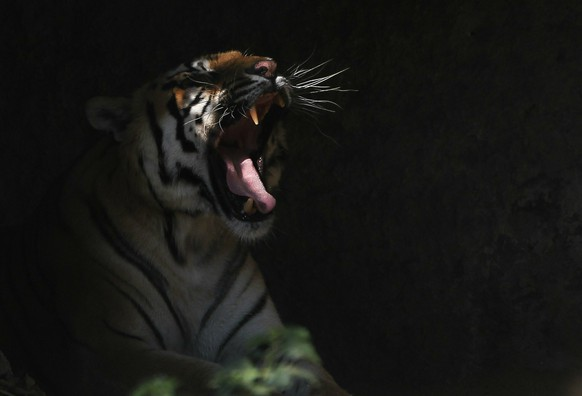 A Bengal tiger roars inside his cage at Central Zoo in Kathmandu, Nepal, Monday, Jan. 28, 2019. The zoo, which was opened to public in 1956 is spread over an area of about six hectares. (AP Photo/Niranjan Shrestha)