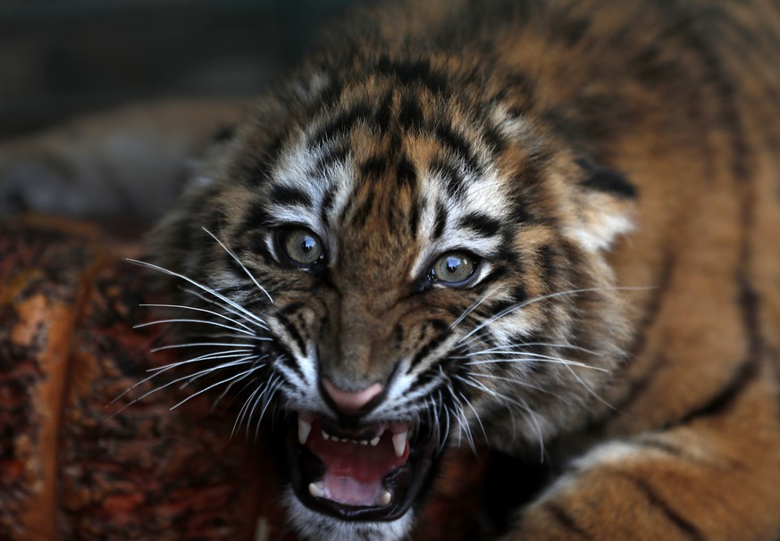 In this Wednesday March 29, 2017 photo, a Siberian tiger destined for a zoo in war-torn Syria, and rescued by Animals Lebanon, an animal rights group, roars inside a cage, in Aley, east of Beirut, Lebanon. Three tiger cubs, which were being transported from Ukraine, were trapped in an unmarked maggot-infested crate in Beirut's airport for almost a week, where they could not stand or move and were forced to urinate and defecate on each other, according to Animals Lebanon. (AP Photo/Hussein Malla)