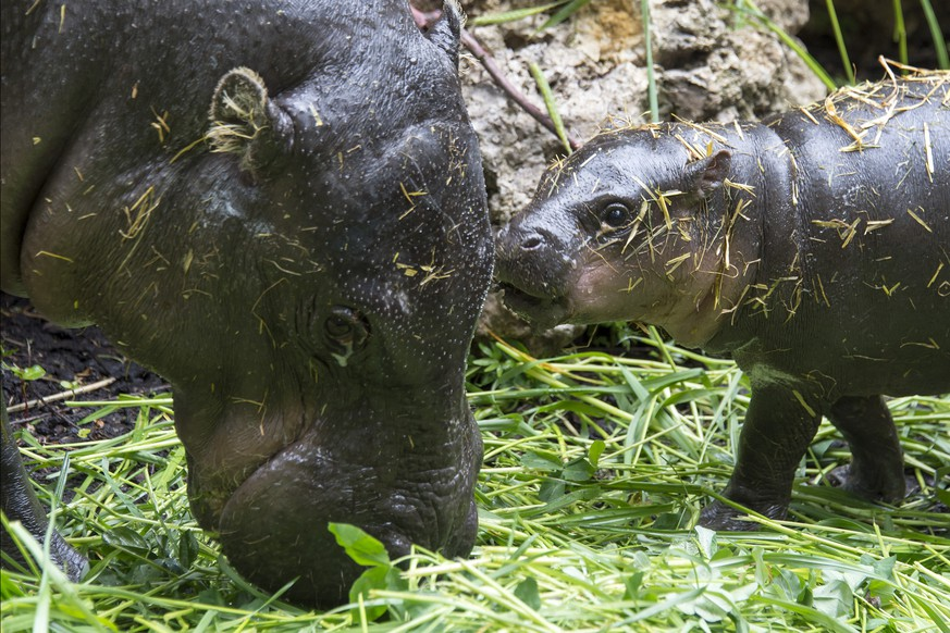 A young pygmy hippopotamus (hexaprotodon liberiensis) named Lani lingers in the zoo with mother Ashaki in Basel, Switzerland on Wednesday, May 14, 2014. (KEYSTONE/Georgios Kefalas)