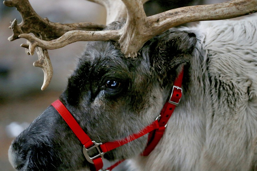 In this Dec. 16, 2018 photo, one of Mark Sopko reindeer named Thunder stands in Branchburg, N.J. Reindeer named Thunder and Jingles, they make their home year-round at Sopko's Central Jersey farm, but spend much of their time after the arrival of Thanksgiving making appearances at local and private events, schools, parades, breakfasts with Santa, and sometimes even the occasional office Christmas party. (Ed Murray /NJ Advance Media via AP)