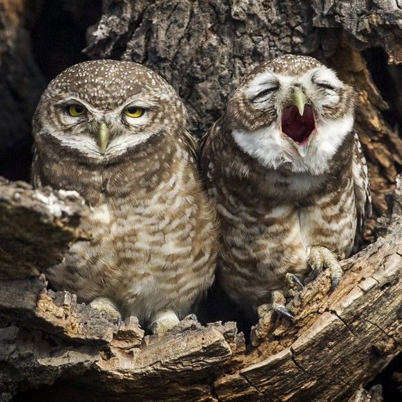 epaselect epa05030761 Owls are spotted sitting in hollow nest in Patan, Nepal, 18 November 2015.  EPA/NARENDRA SHRESTHA