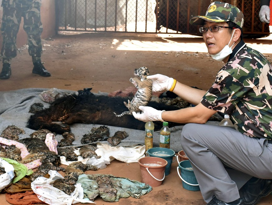 epa05339501 A Thai wildlife official displays carcasses of dead tiger cubs found during a raid at the Tiger Temple in Kanchanaburi Province, Thailand, 01 June 2016. Thai officials of the Department of National Parks, Wildlife and Plant Conservation found 40 dead bodies of tiger cubs as they were raiding the controversial Tiger Temple in order to take away tigers after the temple has been accused of being involved in illegal wildlife trafficking as well as using the big cats as tourist attraction.  EPA/STR THAILAND OUT