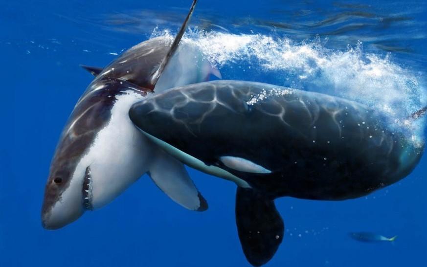so kommen orcas an ihre leibspeise leber vom weissen hai watson
