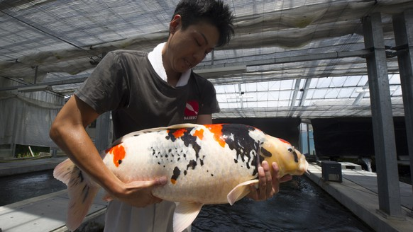 epa06789271 A breeder of Nishiki Koi, decorative carp holds a 15 kilogram fish at the Dainichi Koi Farm in the city of Ojiya city, Niigata prefecture, Japan, 05 June 2018. The city of Ojiya is the home place of the Nishiki Koi, or decorative carp fish. The carp fish was originally bred as a food source during long winters in the mountainous region of Japan. In the 1820s it was first bred in a variety of colors and in recent years has become popular world wide as a decorative fish. Prize quality Nishiki Koi can cost upwards of a 100,000 dollars.  EPA/EVERETT KENNEDY BROWN  ATTENTION: This Image is part of a PHOTO SET