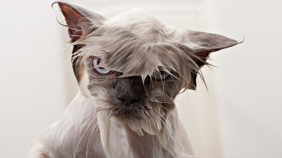 A portrait shot of a persian cat getting a bath showing his wet face.