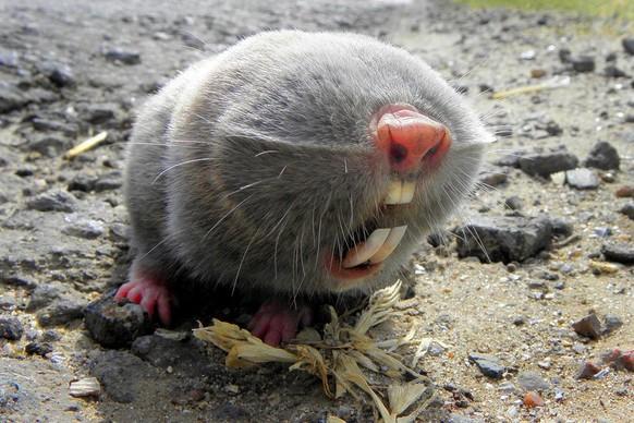 Russian mole-rat Cute News https://www.reddit.com/r/awwwtf/comments/90xz8h/russian_mole_rat/