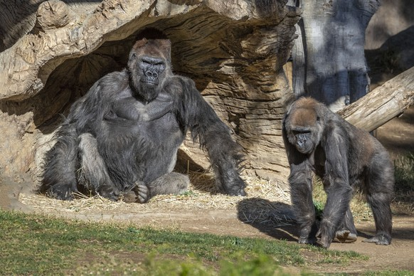 Members of the gorilla troop at the San Diego Zoo Safari Park in Escondido, Calif., are seen in their habitat on Sunday, Jan. 10, 2021. Several gorillas at the zoo have tested positive for the coronavirus in what is believed to be the first known cases among such primates in the United States and possibly the world. It appears the infection came from a member of the park's wildlife care team who also tested positive for the virus but has been asymptomatic and wore a mask at all times around the gorillas. (Ken Bohn/San Diego Zoo Safari Park via AP)