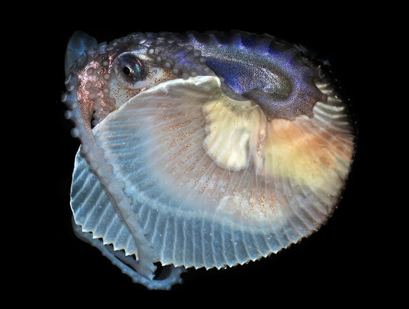 This image provided by the Cabrillo Marine Aquarium shows a female Argonaut, or paper nautilus, a species of cephalopod that was recently scooped out of the ocean off the California coast. The baseball-sized animal is making herself at home at the aquarium, bobbing up and down in her tank furling and unfurling her sucker-covered arms. This strange octopus is rare in California, because it only lives in tropical and subtropical waters. (AP Photo/Cabrillo Marine Aquarium, Gary Florin)