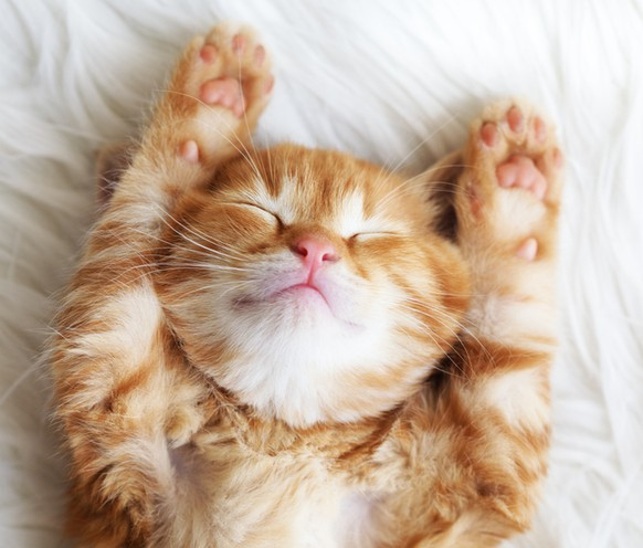 Cute little red kitten sleeps on fur white blanketbüsi katze