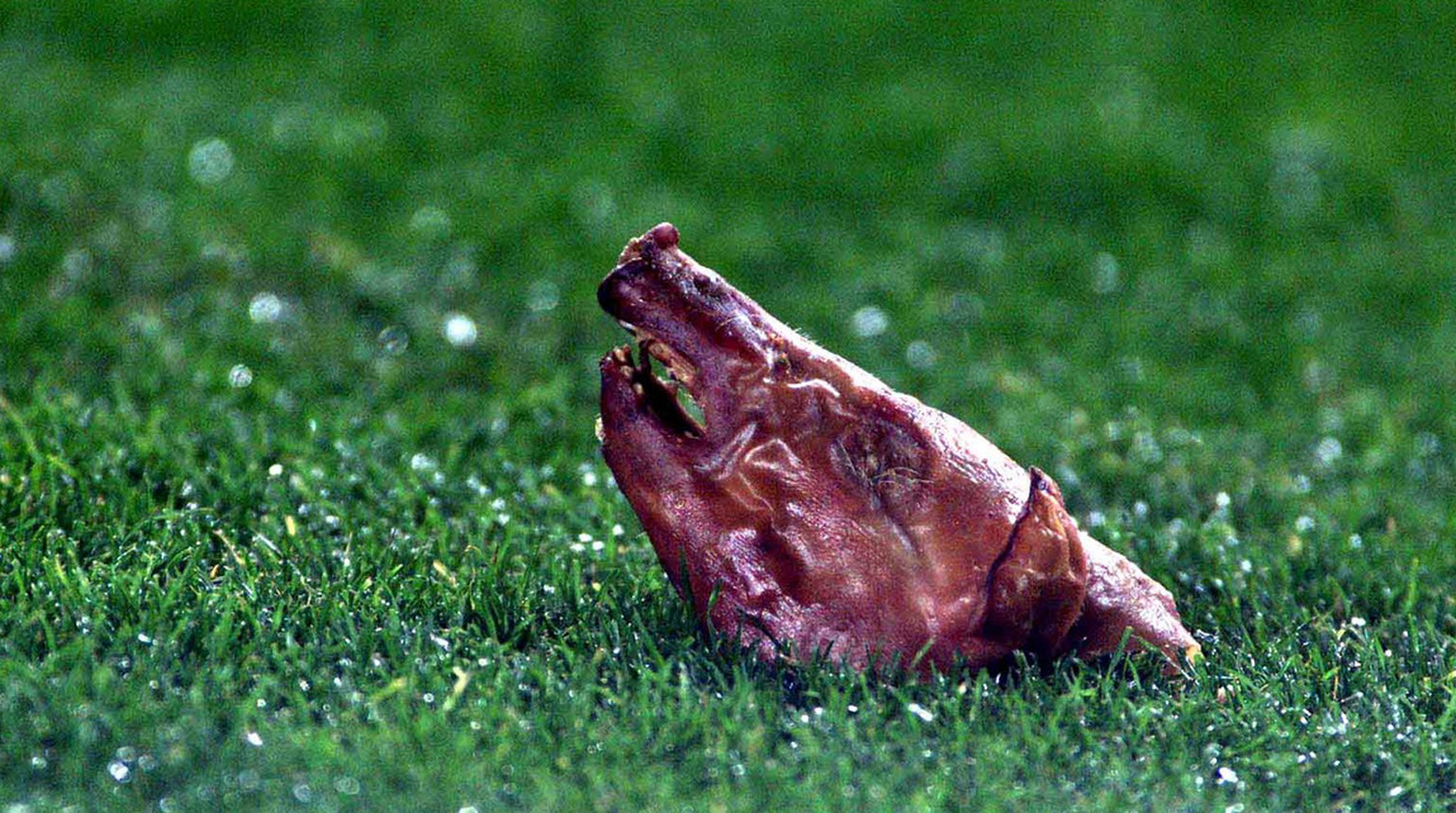 A pigs head is seen on the pitch after it was thrown at Real Madrid's Portugues player Luis Figo during a Spanish league match against Barcelona in Barcelona, Spain Saturday Nov. 23, 2002. Figo, a former Barcelona player was subjected to continious abuse from Barcelona fans and the match was halted for 13 minutes after objects were hurled at him from the stands. (KEYSTONE/AP Photo/Courtesy of AS Newspaper)  === SPAIN OUT ===
