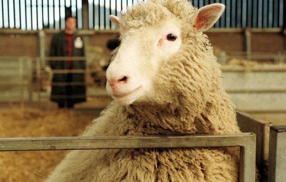 Then Seven-month-old Dolly, the genetically cloned sheep, looks towards the camera at the Roslin Institute Feb. 25 1997. Dolly,  was developed by a team of scientists coordinated by Dr, Ian Wilmut, at the Roslin Institute in Edinburgh, Scotland in 1996.  Dolly has died after being diagnosed with progressive lung disease, the Roslin Institude said Friday, Feb. 14, 2003.   (KEYSTONE/AP Photo/Paul Clements) **UNITED KINGDOM OUT**