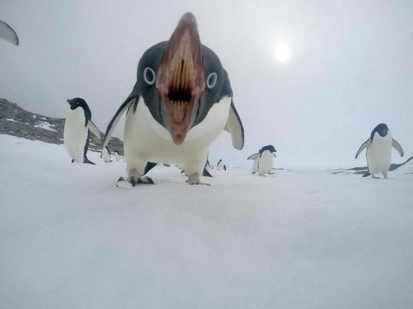 Pinguin Cute News https://www.reddit.com/r/awwwtf/comments/92bea1/penguin/