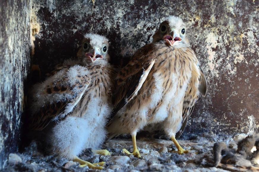 Nachwuchs im Aachener Dom – bald fliegen die Jungfalken aus - watson