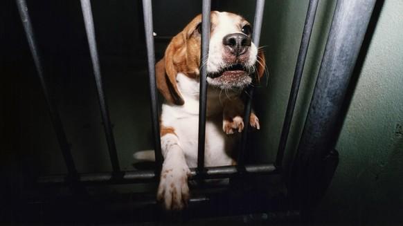 Ein Beagle wird am 22. Mai 1997 nach einer Versuchsreihe eines Basler Pharmakonzerns an den Tierschutzverein uebergeben. Die Tierversuche in der Schweiz sind 2002 erneut angestiegen. Abgenommen habe die Zahl der schwer belasteten Versuchstiere, teilte das Bundesamt fuer Veterinaerwesen (BVET) am Donnerstag, 26. Juni 2003 mit. Der Tierschutz sprach von einem Makel fuer den Forschungsplatz Schweiz. Laut Interpharma sind Tierversuche unverzichtbar. (KEYSTONE/Michael Kupferschmidt)