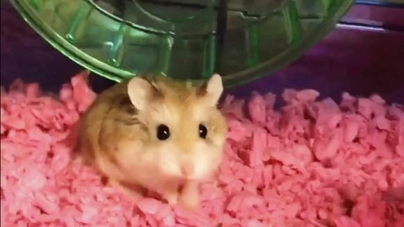 Hamster freie Videos