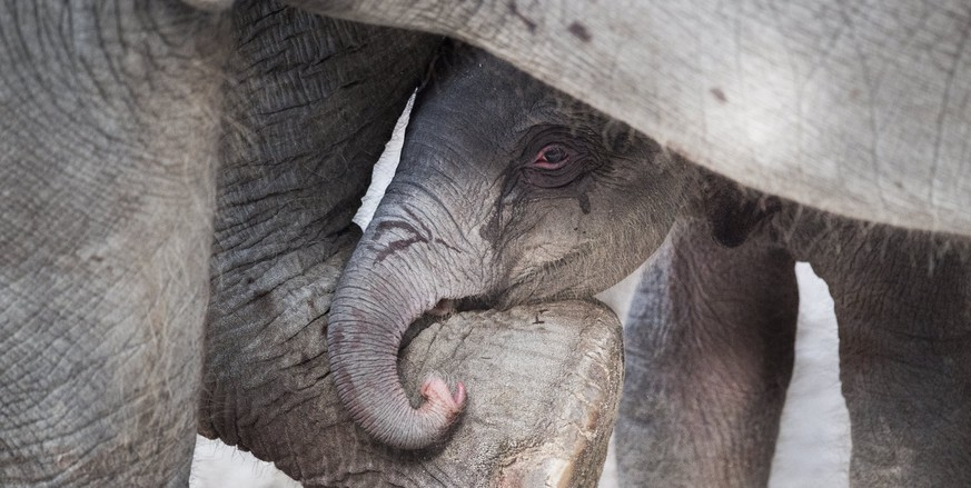 epa05814446 A new born female elephant-calf hides between its mother's legs as it appears in their enclosure in the Zurich Zoo, in Zurich, Switzerland, 25 February 2015. The elephant baby was born earlier the same morning.  EPA/ENNIO LEANZA