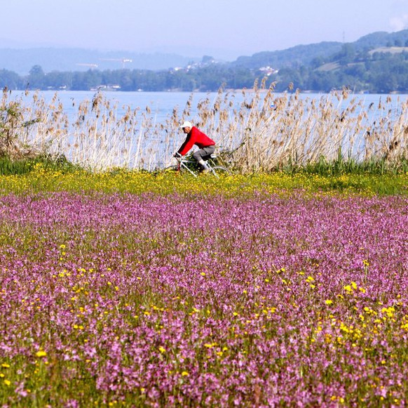 Ein Velofahrer faehrt am Pfingstmontag, 24 Mai 2010 am Sempachersee an einer Wiese mit Kuckucksnelken vorbei.  (KEYSTONE/Sigi Tischler)A man on a bycicle passes a flowering meadow on a sunny day at the Sempach Lake, near Sempach, central Switzerland, Monday, May 24, 2010. (KEYSTONE/Sigi Tischler)