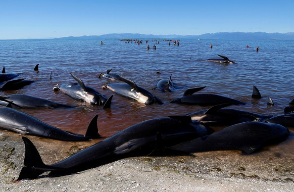 Volunteers try to guide some of the stranded pilot whales still alive (in background) back out to sea after one of the country's largest recorded mass whale strandings, in Golden Bay, at the top of New Zealand's South Island, February 11, 2017.  REUTERS/Anthony Phelps