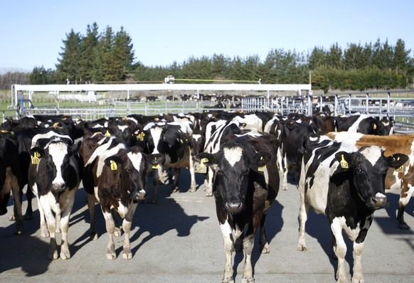 FILE - In this Aug. 28, 2015, file photo, cows stand in a pen before they are milked on a dairy farm near Carterton, New Zealand. New Zealand police said Tuesday, Aug. 30, 2016, that they were investigating reports of the unlikely crime at a South Island farm. Locals said 500 milking cows could have been taken from the herd of 1,300 anytime between early July, when they were last counted, and late August. The stolen cows are worth about 750,000 New Zealand dollars ($543,000). (AP Photo/Nick Perry, File)
