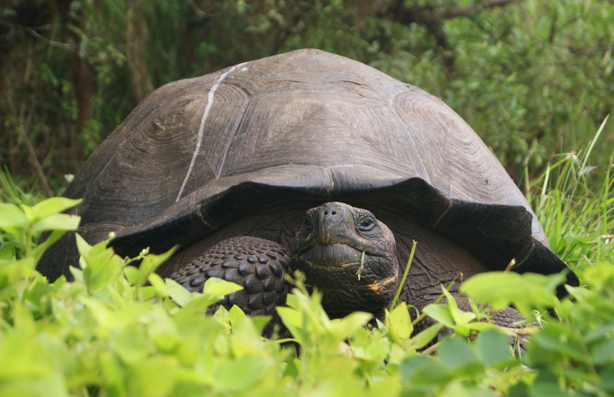 This Aug. 30, 2015 photo released by Galapagos National Park shows a new species of tortoise on Santa Cruz Island, Galapagos Islands, Ecuador. The national park said in a statement on Tuesday, Oct. 20, 2015 that the discovery of the species brings to 15 the number of known species of giant tortoise living on the archipelago. The newly identified species is estimated to number 250 and was christened Chelonoidis donfaustoi after park ranger Fausto Llerena. (AP Photo/Galapagos National Park)