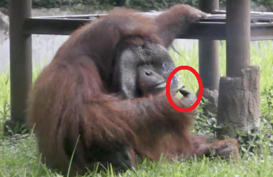 Kurioses Video: Orang-Utan in indonesischem Zoo raucht Zigarette