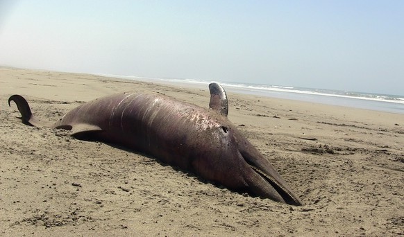 A dolphin carcass lies on the beach at Puerto Eten in Lambayeque, Peru, Saturday,  Jan. 4, 2014. More than 400 dead dolphins were found last month on the Pacific Ocean beaches where twice that amount were encountered in 2012, Peruvian officials said Monday. Authorities never established the cause of death in 2012. They are doing autopsies now on the dolphins found in January in the Lambayeque region. (AP Photo/Str)