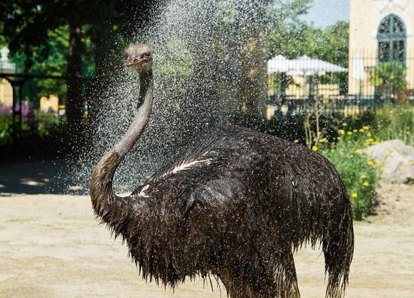 ABD0022_20150706 - WIEN - ÖSTERREICH: ZU APA0113 VOM 6.7.2015 - Die Tiere im Tiergarten Schönbrunn haben ihre eigenen Methoden, um der Hitze zu entkommen: schattige Plätze aufsuchen, sich weniger bewegen und immer wieder abkühlen. Falls es doch zu heiß wird, hilft aber auch bei den Tieren nur mehr eine kühle Dusche. Im Bild ein afrikanischer Strauss. +++ WIR WEISEN AUSDRÜCKLICH DARAUF HIN, DASS EINE VERWENDUNG DES BILDES AUS MEDIEN- UND/ODER URHEBERRECHTLICHEN GRÜNDEN AUSSCHLIESSLICH IM ZUSAMMENHANG MIT DEM ANGEFÜHRTEN ZWECK ERFOLGEN DARF - VOLLSTÄNDIGE COPYRIGHTNENNUNG VERPFLICHTEND +++. - FOTO: APA/TIERGARTEN SCHÖNBRUNN/DANIEL ZUPANC - +++ WIR WEISEN AUSDRÜCKLICH DARAUF HIN, DASS EINE VERWENDUNG DES BILDES AUS MEDIEN- UND/ODER URHEBERRECHTLICHEN GRÜNDEN AUSSCHLIESSLICH IM ZUSAMMENHANG MIT DEM ANGEFÜHRTEN ZWECK ERFOLGEN DARF - VOLLSTÄNDIGE COPYRIGHTNENNUNG VERPFLICHTEND +++