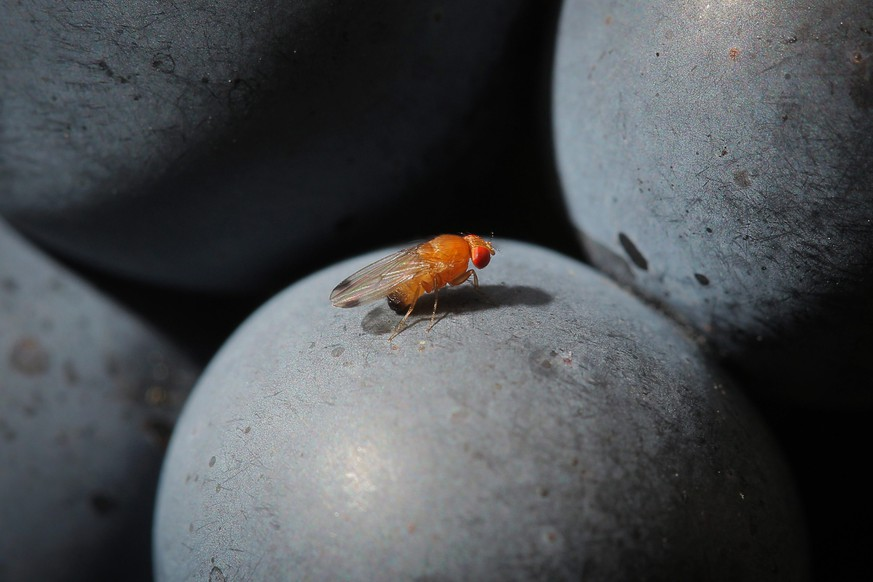 epa04394019 A spotted-wing drosophila (Drosophila suzukii) sits on a grape of wine type Portuguese in the vineyard of family Mohr in Bensheim an der Bergstrasse, Germany, 10 September 2014. Wine growers are worried about the fly. Some red wine grapes will have to be harvested earlier because of the fly, according to the German Wine Institute.  EPA/FREDRIK VON ERICHSEN