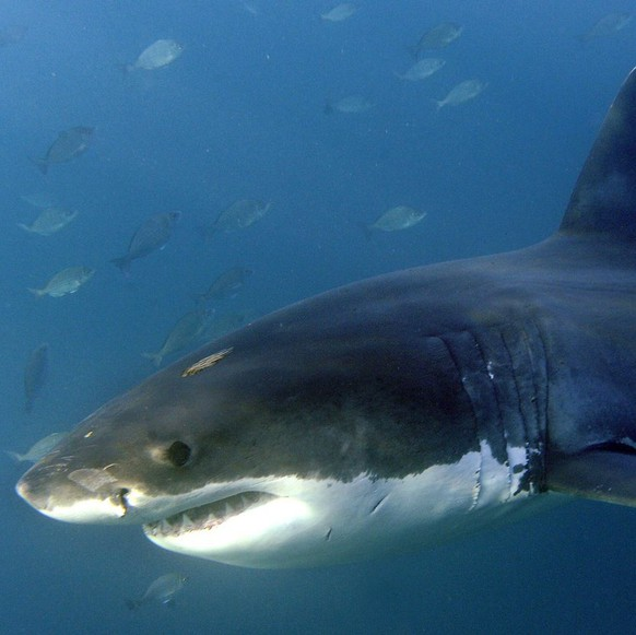 epa02212763 A Great White shark (Carcharodon carcharias) is seen from the safety of a steel cage submersed next to a boat in the Indian Ocean, Gansbaai, South Africa, Saturday 19 June 2010. Shark cage diving in South Africa attracts thousands of adventure tourists from around the world to have the unique opportunity to see these creatures from a boat and also in the water behind a steel cage. The practice of shark cage diving involves 'chumming' the waters with fish oil and remains to attract the sharks. This has become highly controversial in light of the increase in shark attacks in Cape waters in recent years.  EPA/HELMUT FOHRINGER