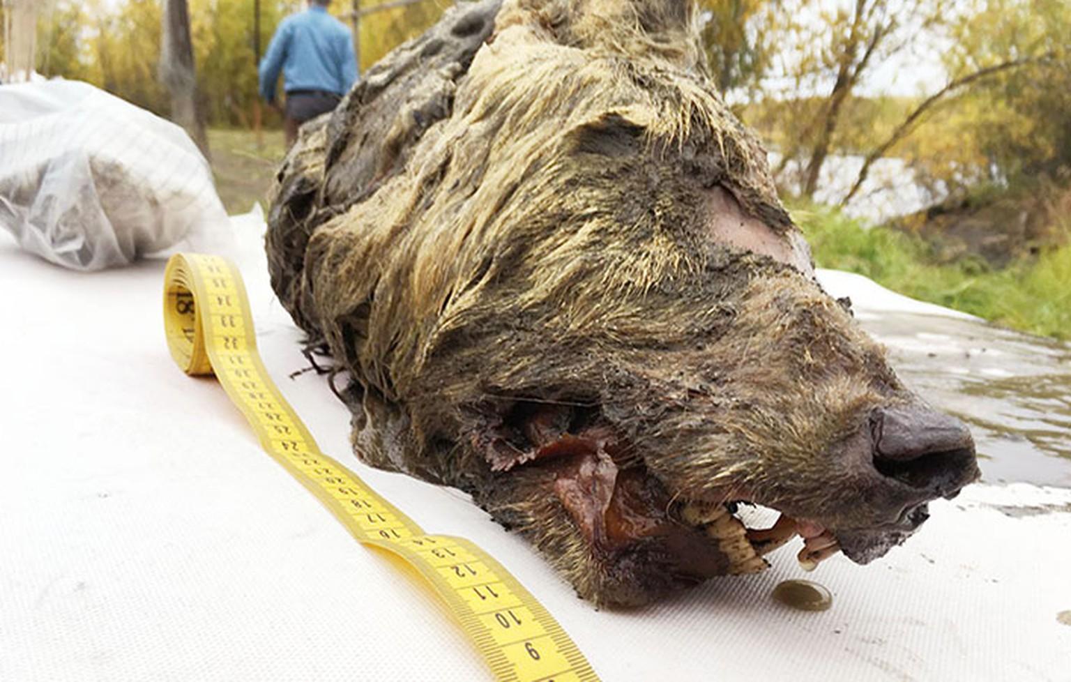 Wissenschaft: Gut erhaltener Kopf eines Eiszeit-Wolfs in Sibirien gefunden