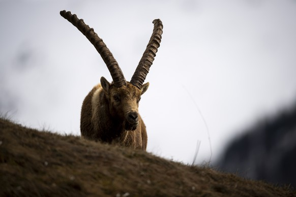 epa07571998 An Alpine Ibex (or steinbock) close to the village of Pontresina, canton of Grisons, Switzerland, 14 May 2019 (issued 15 May 2019). In spring, when the peaks are still covered in snow, the ibex come down to the village to feast on the already green meadows.  EPA/GIAN EHRENZELLER  ATTENTION: This Image is part of a PHOTO SET