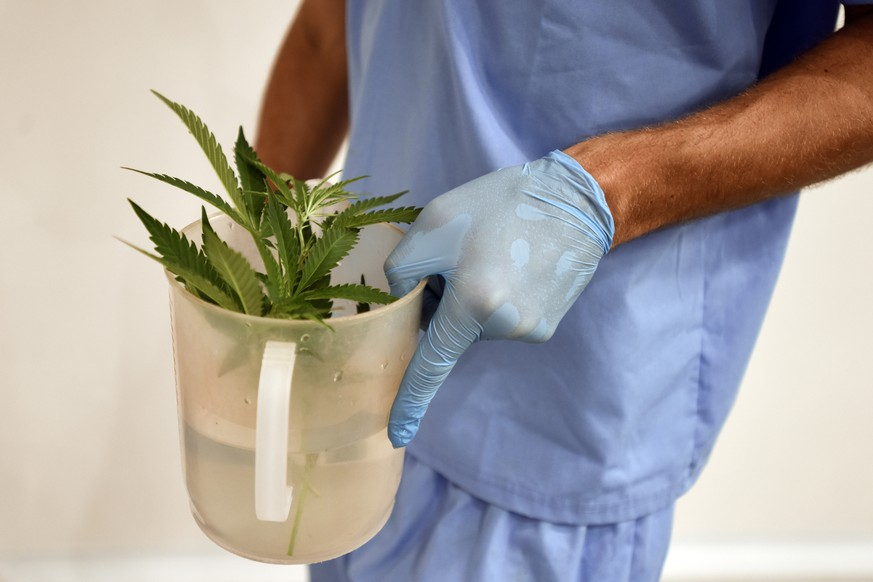 An employee of Fotmer SA, an enterprise that produces cannabis for medical use, carries marijuana cuttings to make clones, in Montevideo, Uruguay, Tuesday, Jan. 29, 2019. No company has yet to begin large-scale export operations, but many say that selling medical cannabis oil beyond the country's local market of 3.3 million inhabitants is key to staying ahead of the tide and transforming Uruguay into a medical cannabis leader along with the Netherlands, Canada and Israel. (AP Photo/Matilde Campodonico)