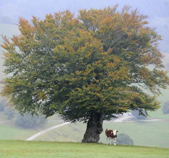 Ein Rind steht am Freitag, 2. Okt. 2009, unter einer  eingefaerbten  Buche, die Vorzeichen des Herbstes sind unverkennbar. Das Wetter ist durchwachsen mit Nebeln  und langsam sinkenden Temperaturen. In den naechsten Tagen ist mit kraeftigen Winden bis Sturmstaerke zu rechnen. (AP Photo/Winfried Rothermel) --- A cow is standing near a tree with coloured leaves on the mountain Schauinsland, southern Germany, on Friday, Oct. 2 , 2009.(AP Photo/Winfried  Rothermel)