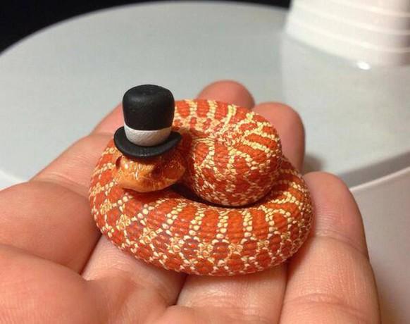 Schlangen haben nicht den besten Ruf in unserer Gesellschaft. Dabei können sie auch ganz zivilisiert sein, mit Hut! Wie zum Beispiel dieser stilvoll gekleidete Gentleman. bild: imgur