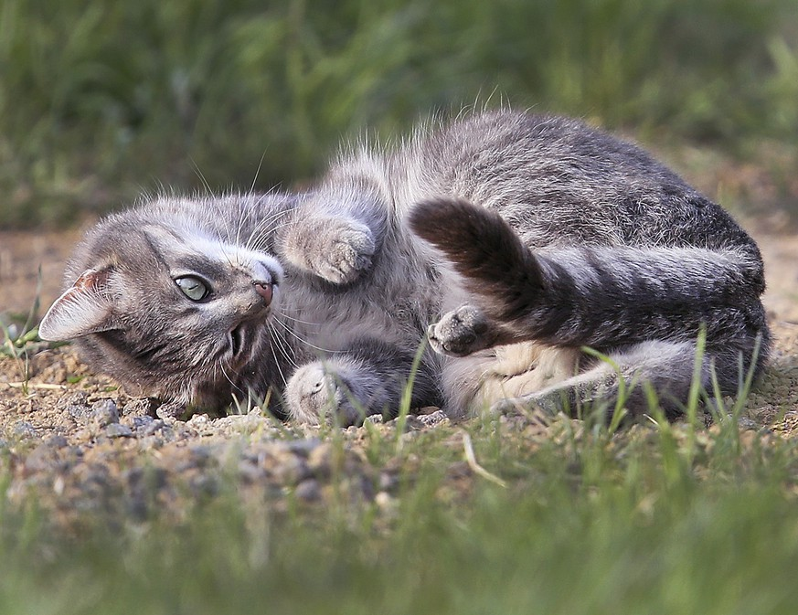 A small cat stretches in the evening sun on a meadow in the outskirts of Frankfurt, Germany, Monday, April 24, 2017. (AP Photo/Michael Probst)