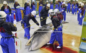 Researchers check a minke whale at Ayukawa port in Ishinomaki, Miyagi Prefecture April 26, 2014, after four Japan's research whaling ships returned from a one-day hunt for minke whales off the prefecture. The research hunt will operate until June 11 to take up to 51 minke whales from coastal waters, local media reported. Japan said last Friday it would conduct a sharply scaled down form of its annual Northwest Pacific whaling campaign this year despite an international court ruling last month against the mainstay of its whaling programme in the Antarctic. Mandatory credit REUTERS/Kyodo (JAPAN - Tags: POLITICS ANIMALS ENVIRONMENT SOCIETY) ATTENTION EDITORS - THIS IMAGE WAS PROVIDED BY A THIRD PARTY. FOR EDITORIAL USE ONLY. NOT FOR SALE FOR MARKETING OR ADVERTISING CAMPAIGNS. THIS PICTURE IS DISTRIBUTED EXACTLY AS RECEIVED BY REUTERS, AS A SERVICE TO CLIENTS. MANDATORY CREDIT. JAPAN OUT. NO COMMERCIAL OR EDITORIAL SALES IN JAPAN. YES
