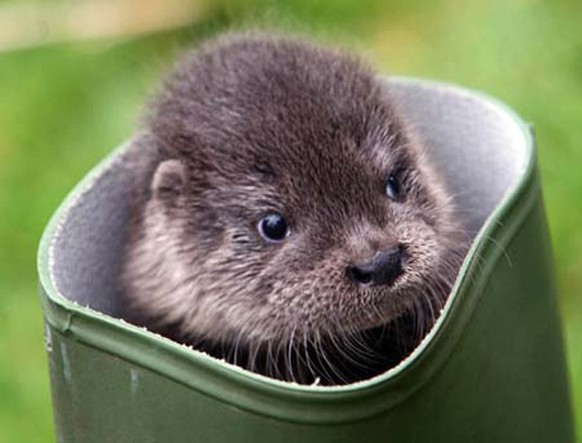A seven week old Otter explores an old boot at Paradise Park. Pic: Phil Monckton/CIOSP